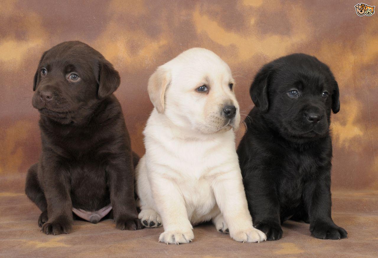 Labrador : des conseils pour bien éduquer votre chien